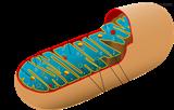 MX4305TMRE 羅丹明線粒體探針